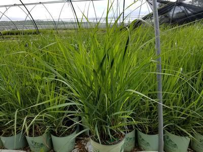 Ornamental Grass - Switchgrass 'Squaw' - 2 Gal. Crop Shot for 2019-23
