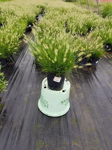 Ornamental Grass - Fountain Grass 'Little Bunny' - 1 Gal. Crop Shot for 2020-30