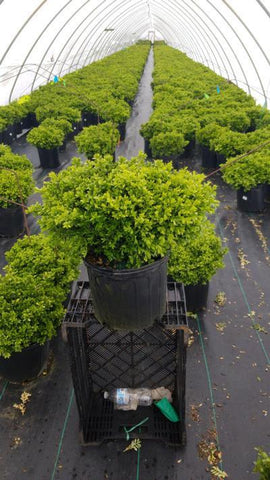 Boxwood 'Tide Hill' - 3 Gal. Crop Shot for 2020-19