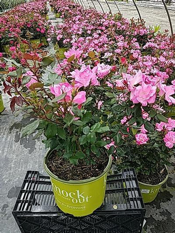 Rose 'Pink Knock Out®' - 3 Gal. Crop Shot for 2020-21