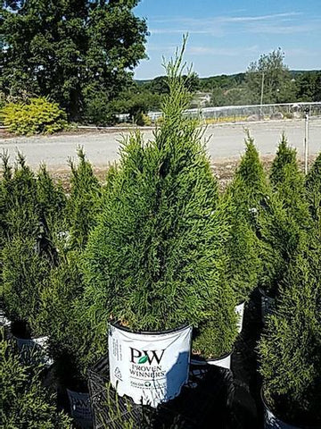 Arborvitae 'North Pole®' - 3 Gal. Crop Shot for 2020-25