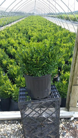 Boxwood 'Green Gem' - 3 Gal. Crop Shot for 2019-35