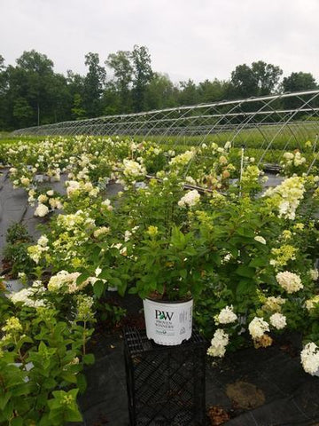 Hydrangea-Panicle 'Limelight' - 3 Gal. Crop Shot for 2020-30