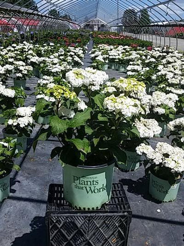 Hydrangea - Big Leaf Double Delights Wedding Gown' - 3 Gal. Crop Shot for 2020-27