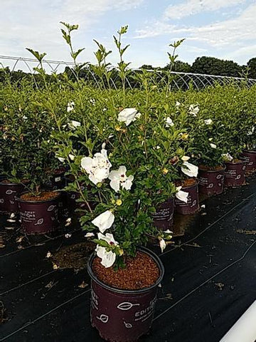 Rose Of Sharon 'Bali™' - 3 Gal. Crop Shot for 2020-30
