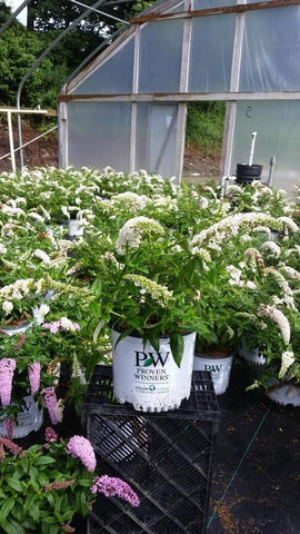 Butterfly Bush 'Pugster White®' - 3 Gal. Crop Shot for 2019-33