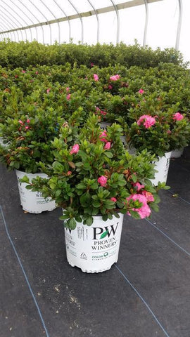 Azalea 'Bloom-A-Thon® Pink' - 2 Gal. Crop Shot for 2019-40