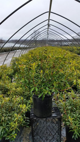 Mountain Laurel 'Nipmuck' - 5 Gal. Crop Shot for 2019-14
