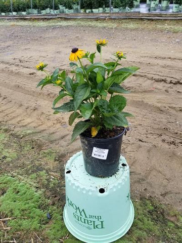 Black-Eyed Susan 'Goldsturm' - 1 Gal. Crop Shot for 2020-30