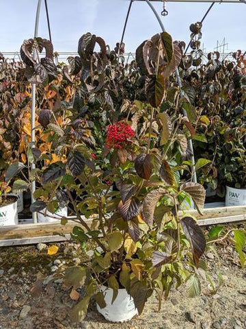 Viburnum 'Cardinal Candy®' - 3 Gal. Crop Shot for 2019-45