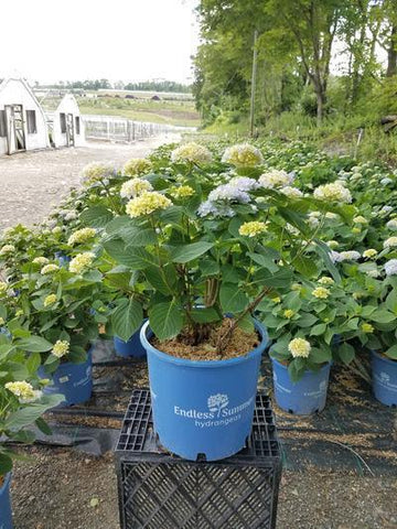 Hydrangea-Big Leaf 'Endless Summer® The Original' - 5 Gal. Crop Shot for 2019-23