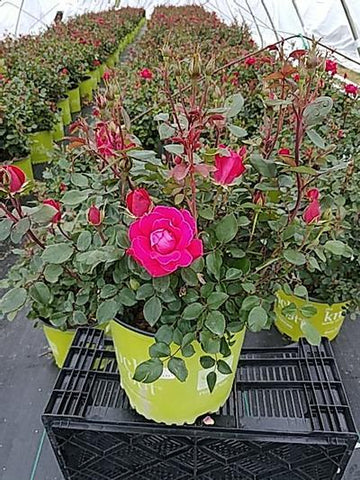 Rose 'Double Knock Out®' - 3 Gal. Crop Shot for 2020-20
