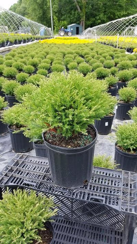 Arborvitae 'Mr. Bowling Ball®' - 2 Gal. Crop Shot for 2019-23