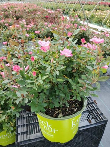 Rose 'Pink Knock Out®' - 3 Gal. Crop Shot for 2020-27