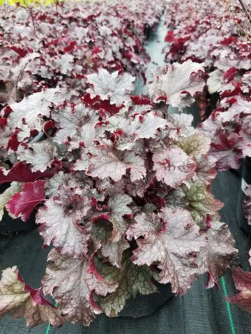 Coral Bells 'Plum Pudding' - 2 Gal. Crop Shot for 2019-40