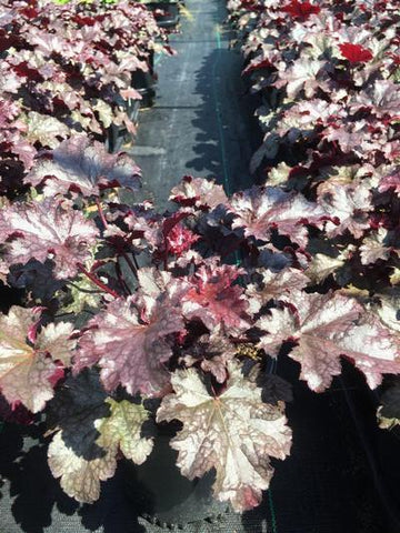 Coral Bells 'Plum Pudding' - 1 Gal. Crop Shot for 2019-32