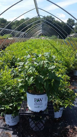 Buttonbush 'Sugar Shack®' - 3 Gal. Crop Shot for 2019-33