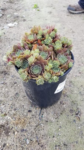 Hens & Chicks 'Silverine' - 1 Gal. Crop Shot for 2020-30