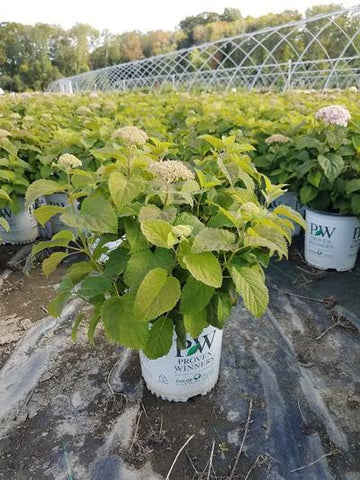 Hydrangea-Smooth 'Invincibelle Wee White®' - 2 Gal. Crop Shot for 2019-37