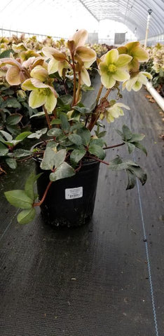Hellebore Or Lenton Rose 'Ivory Prince' - 1 Gal. Crop Shot for 2020-12