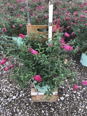 Butterfly Bush - 'Pink Charming' - 3 Gal. Crop Shot for 2020-37