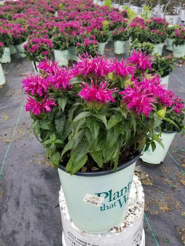 Beebalm 'Balmy Purple' - 8 In. Crop Shot for 2019-24
