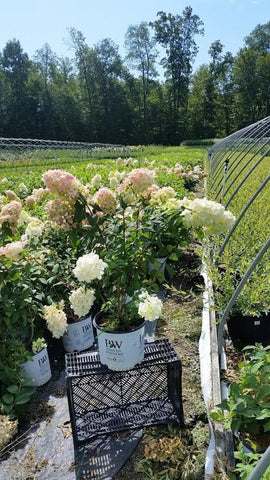Hydrangea-Panicle 'Fire Light®' - 3 Gal. Crop Shot for 2019-32
