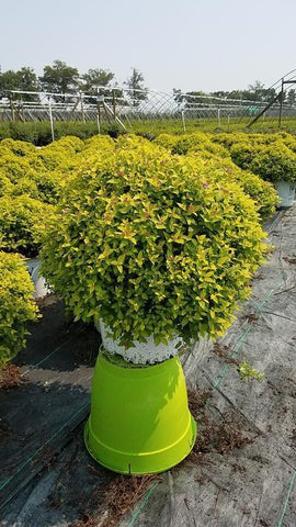 Spirea 'Double Play® Gold' - #3 Crop Shot for 2018-33