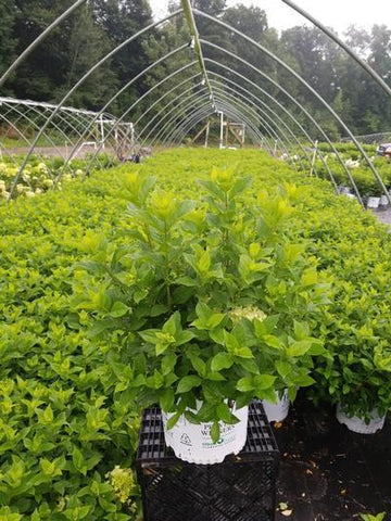 Hydrangea-Panicle 'Little Lime®' - 3 Gal. Crop Shot for 2020-30