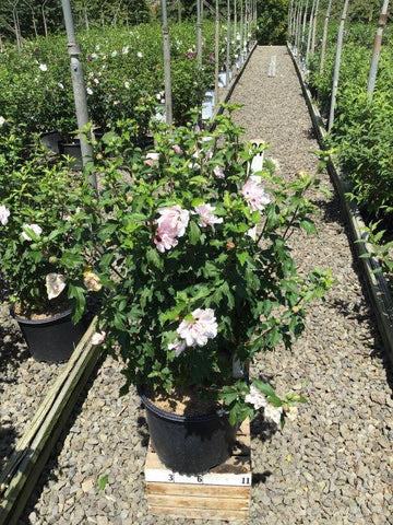 Rose Of Sharon - 'Blushing Bride' - 3 Gal. Crop Shot for 2020-34