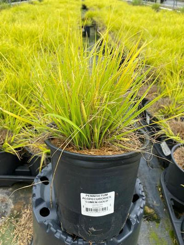 Ornamental Grass - Fountain Grass 'Lumen Gold' - 1 Gal. Crop Shot for 2020-22