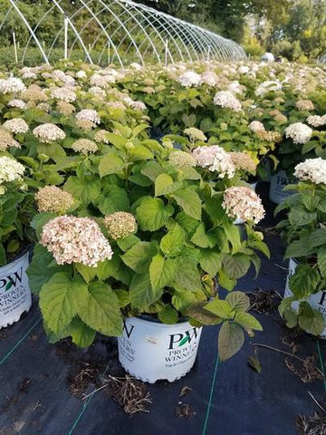 Hydrangea-Smooth 'Invincibelle Wee White® ' - 3 Gal. Crop Shot for 2019-37