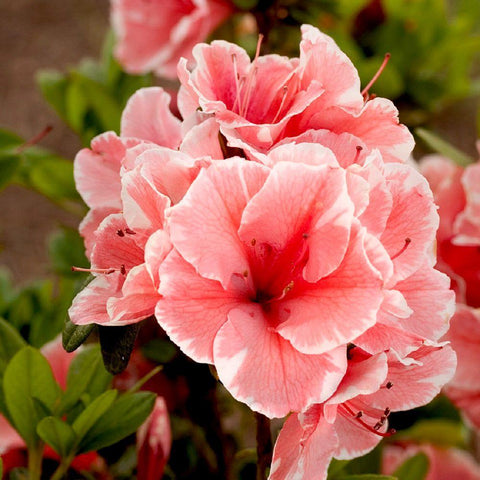 Azalea 'Encore® Autumn Sunburst™' - 3 Gal.