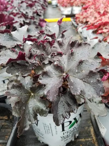 Coral Bells 'Primo™ Black Pearl' - 1 Gal. Crop Shot for 2019-40