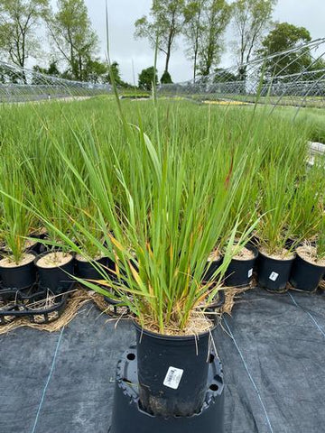 Ornamental Grass - Feather Reed Grass 'Karl Foerster' - 1 Gal. Crop Shot for 2020-21