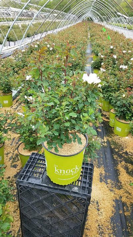 Rose 'White Knock Out®' - 2 Gal. Crop Shot for 2019-19
