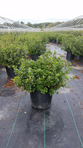 Azalea 'Hino Crimson' - 3 Gal. Crop Shot for 2019-40