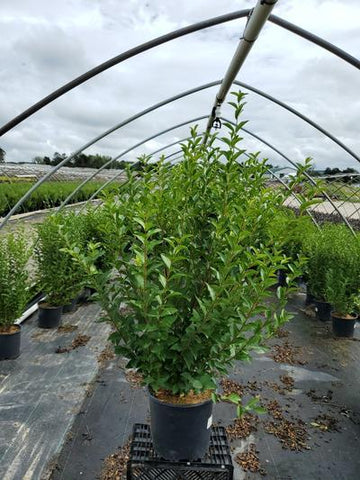 Privet - 3 Gal. Crop Shot for 2020-36