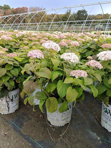 Hydrangea-Smooth 'Invincibelle Wee White®' - 2 Gal. Crop Shot for 2019-40