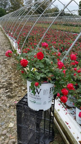 Rose 'Oso Easy® Double Red' - 2 Gal. Crop Shot for 2019-40