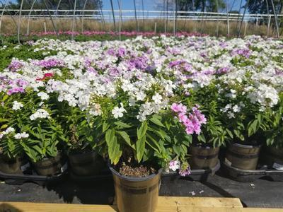 Phlox-Garden 'Volcano® Medley' - 1 Gal. Crop Shot for 2019-36