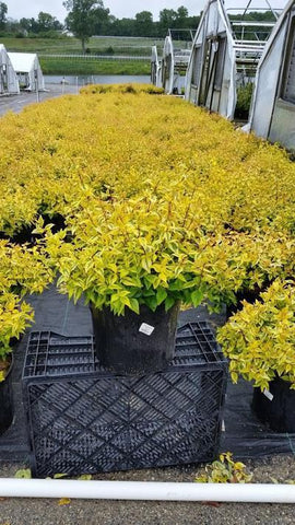 Abelia - Glossy 'Kaleidoscope'' - 3 Gal. Crop Shot for 2019-23