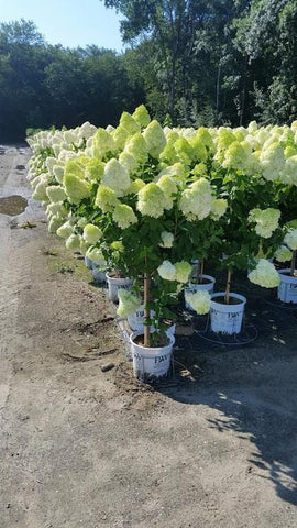 Hydrangea-Panicle 'Limelight - Tree Form' - 7 Gal. Crop Shot for 2019-32