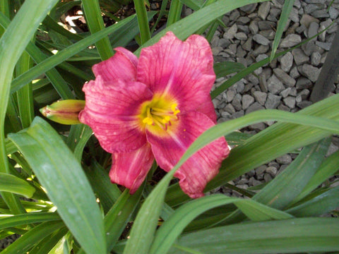 Daylily - 'Rosy Returns' - 8 Inch