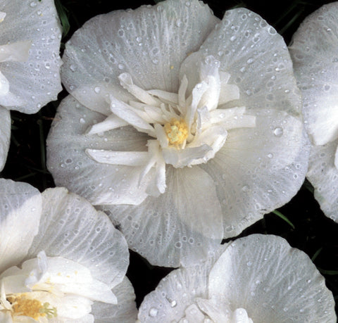 Rose Of Sharon - 'White Chiffon™' - 3 Gal. - 3 Gal.