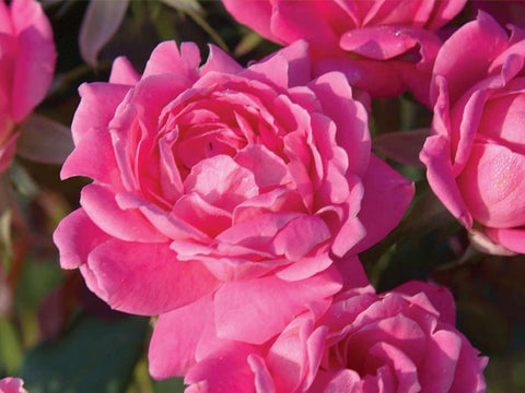 Rose - Knock Out® 'Pink Double' - 3 Gal.