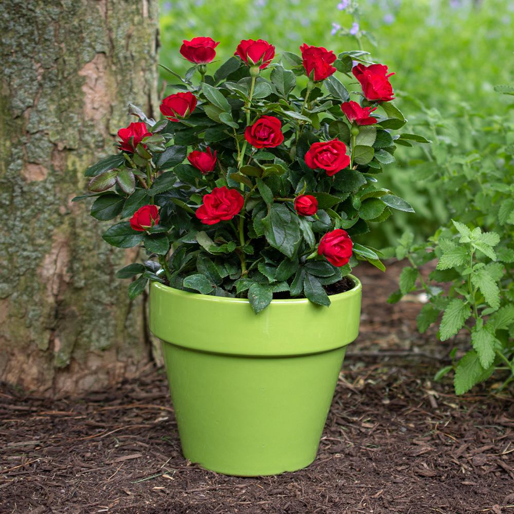 Rose Knock Out® 'Petite' - 2 Gal.