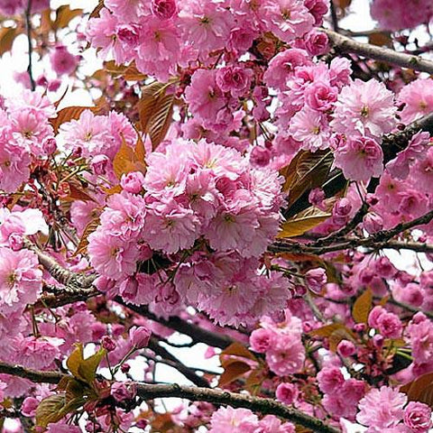 Prunus serrulata 'Kwanzan'-#7 Container<br />Kwanzan Flowering Cherry