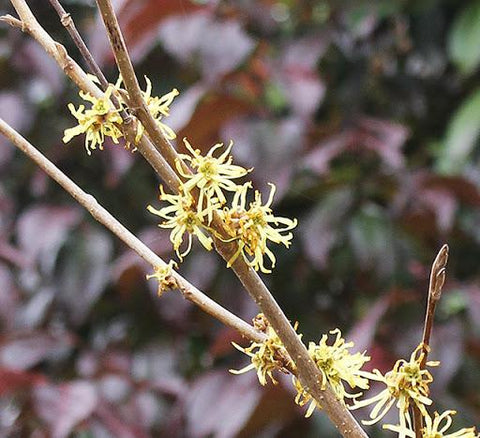 Witchhazel 'Harvest Moon' - 3 Gal.