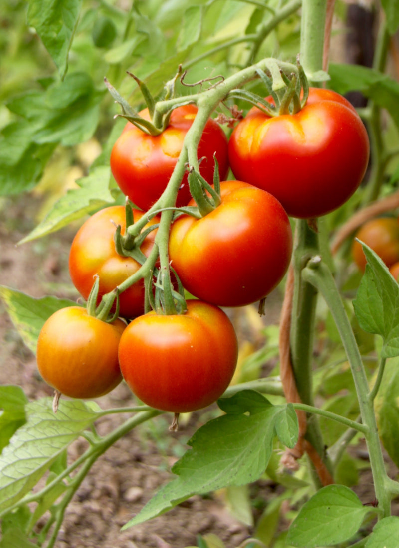 Buy Plants Online Direct From Growers 1000 S Of Plants Shrubbucket